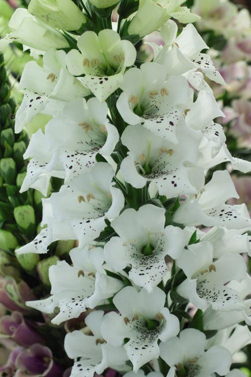 Digitalis purpurea Candy Mountain White