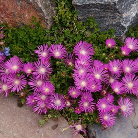Delosperma Table Mountain