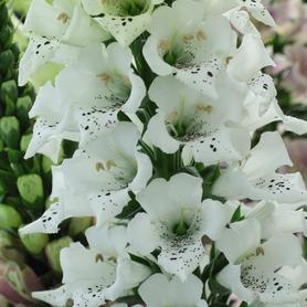 Digitalis purpurea Snowy Mountain