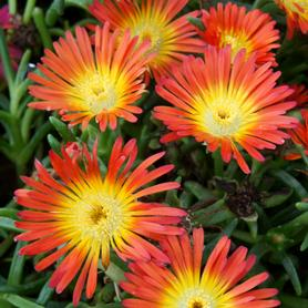 Delosperma WOW® Fire Wonder