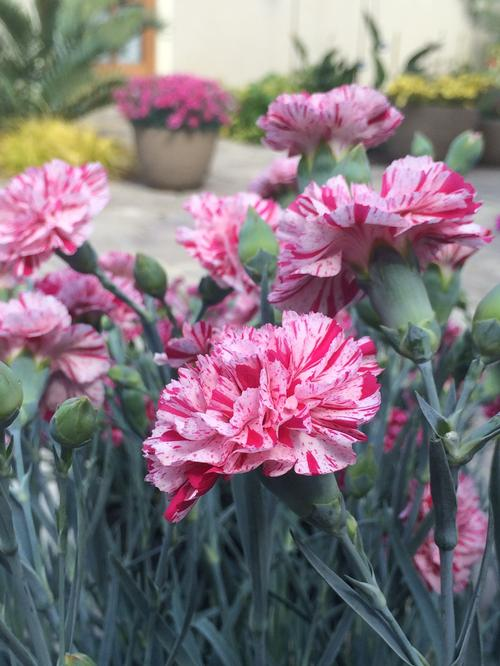 Dianthus Devon Cottage™ Pinball Wizard