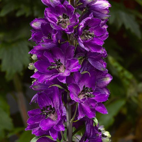 Delphinium elatum Delphina™ Dark Blue Black Bee