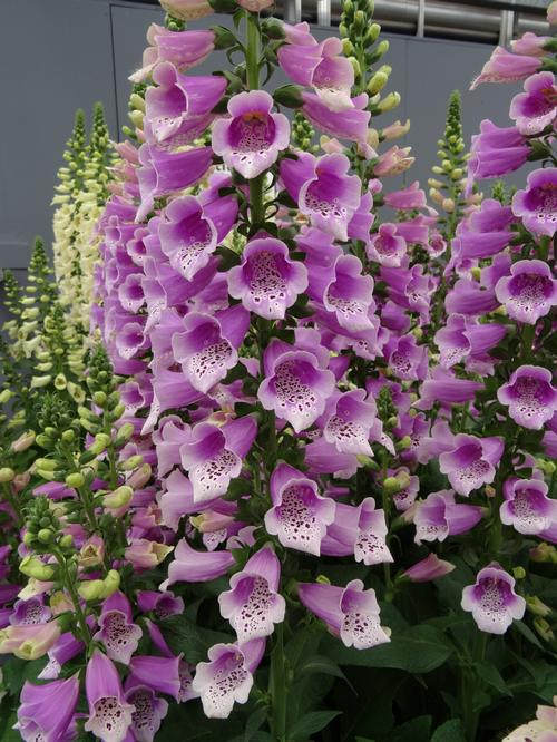 Digitalis purpurea Dalmatian Rose