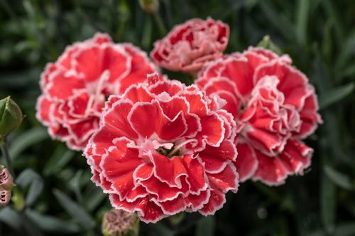 Dianthus Constant Beauty™ Crush Orange
