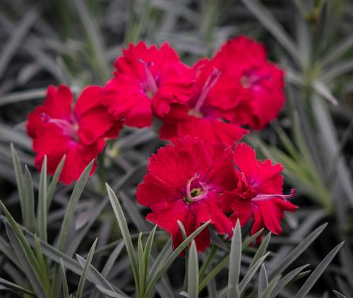 Dianthus hybrida Mountain Frost™ Garnet Red