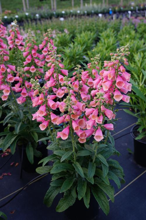 Digitalis hybrida Artic Fox Rose