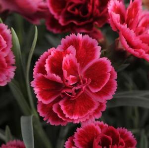 Dianthus Everlast™ Burgundy Blush