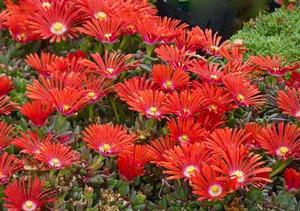 Delosperma dyeri Red Mountain® Flame Ice