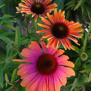 Echinacea purp. Butterfly™ Rainbow Marcella