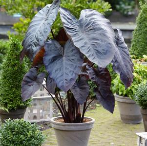 Elephant Ears - Colocasia Diamond Head