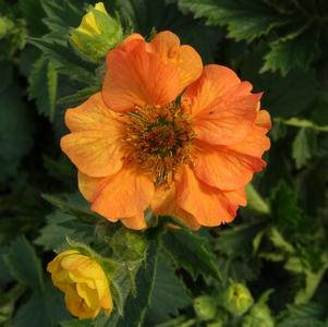 Geum x Totally Tangerine