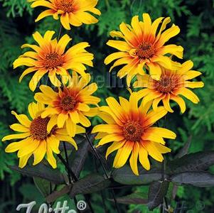 Heliopsis helianthoides var. scabra Burning Hearts