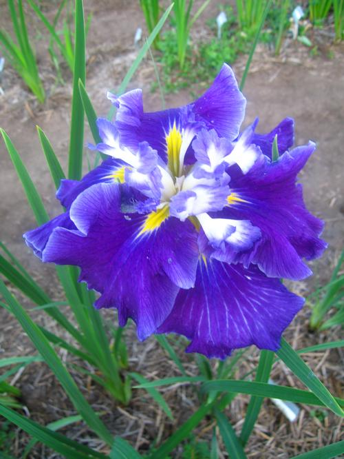 Iris Ensata Frosted Intrigue