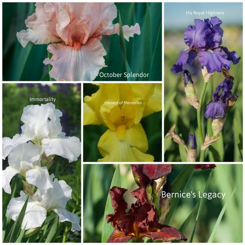 Iris Germ. (Tall Bearded) germanica Tall Bearded Collection A