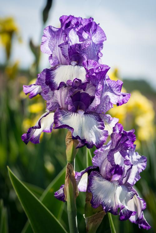 Iris germanica Earl of Essex