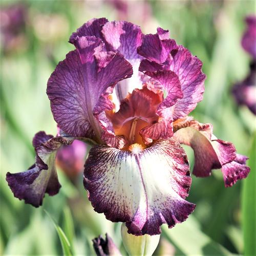 Iris germanica Innocent Star
