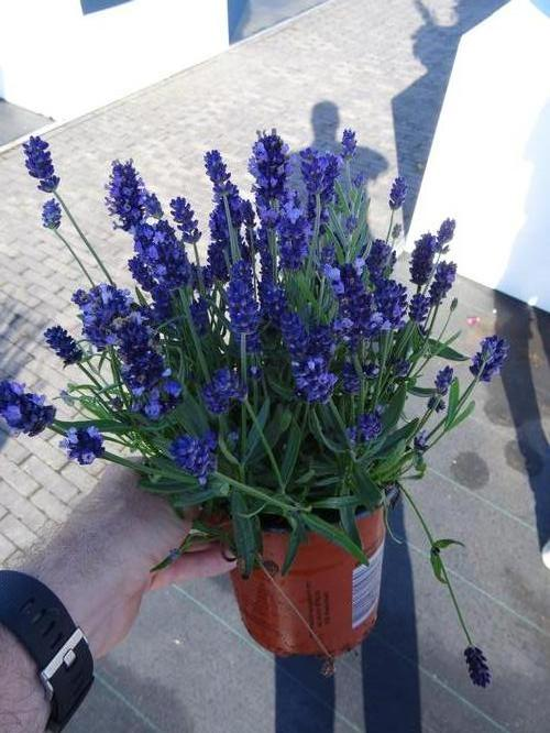 Lavandula angustifolia Super Blue