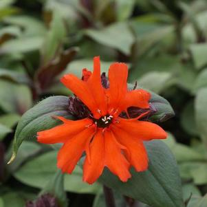 Lychnis arkwrightii Orange Gnome