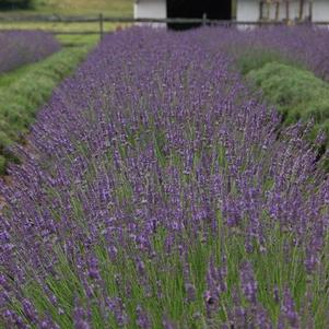 Lavandula x intermedia Phenomenal
