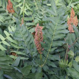 Osmunda regalis Royal Fern