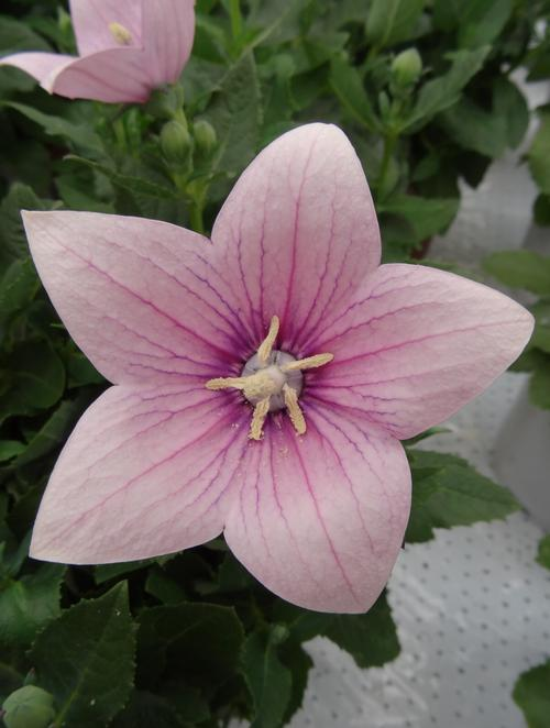 Platycodon Astra Pink