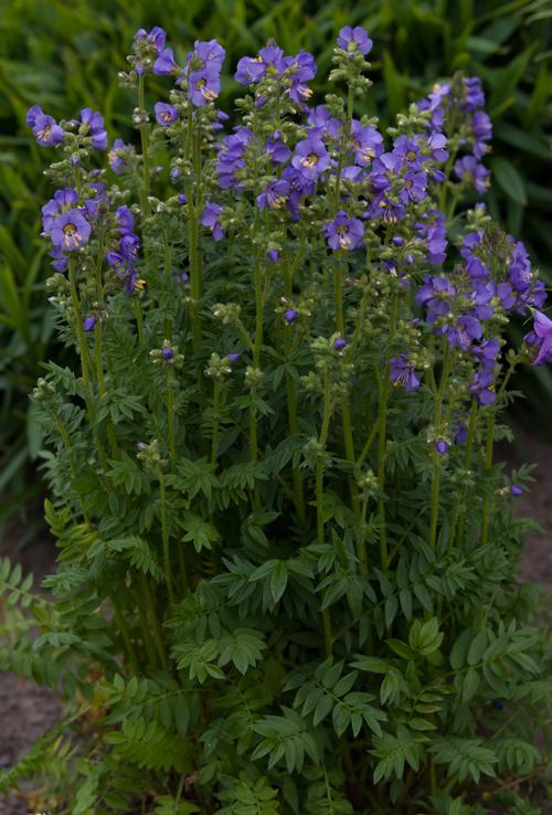 Polemonium boreale Heavenly Habit
