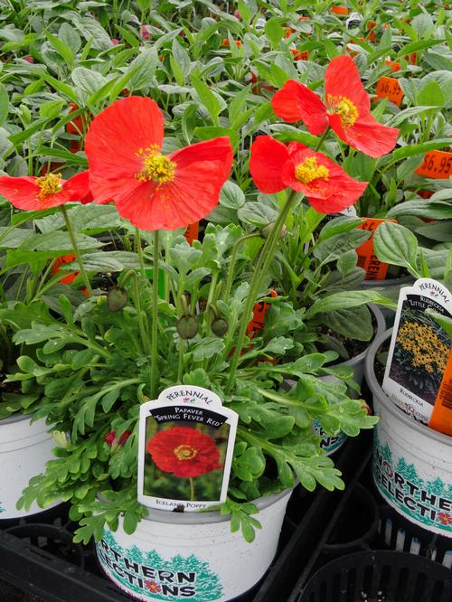 Papaver nudicaule Spring Fever™ Red