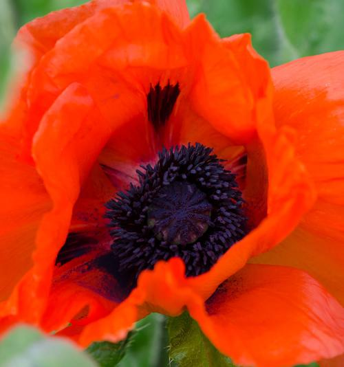 Papaver orientalis Beauty of Livermore