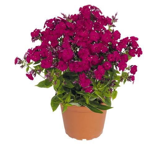Phlox Flame™ Series paniculata Ruby Flame™