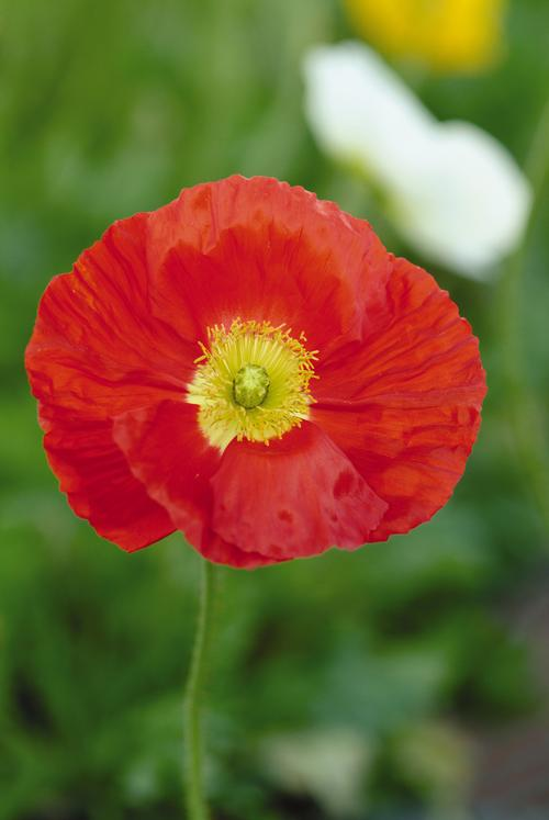 Papaver nudicale Champagne Bubbles Scarlet