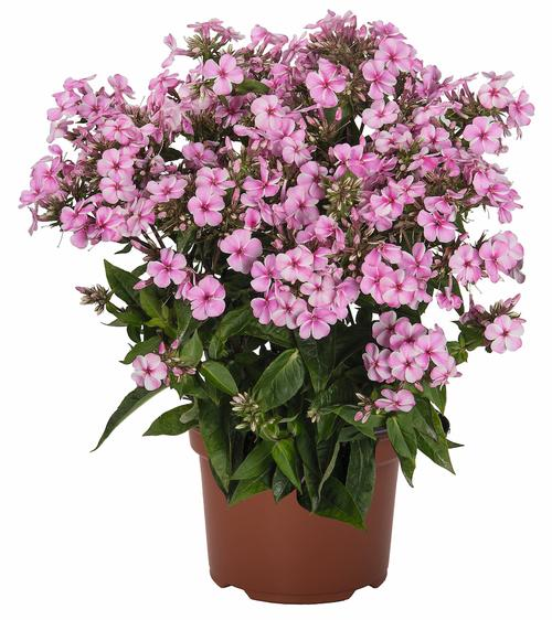 Phlox Early Start™ Series paniculata Early® Pink Candy