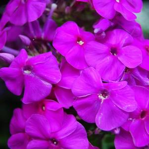 Phlox Flame™ Series paniculata Purple Flame®