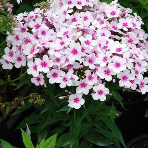 Phlox Flame™ Series paniculata White/Red Eye Flame®