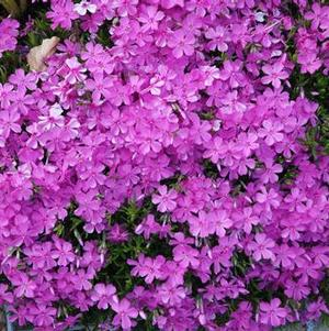 Phlox subulata Red Wing