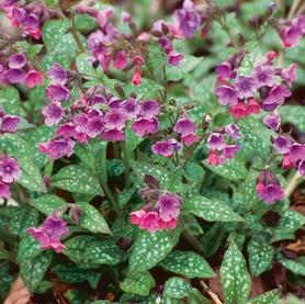 Pulmonaria saccharata Mrs. Moon