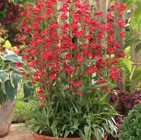 Penstemon schmidel Red Riding Hood