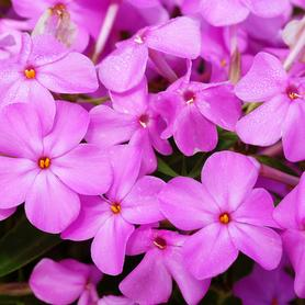 Phlox paniculata Forever Pink