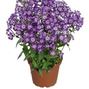 Phlox Early Start™ Series paniculata Early® Purple Eye