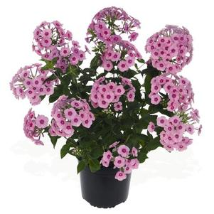 Phlox Early Start™ Series paniculata Early® Pink Dark Eye