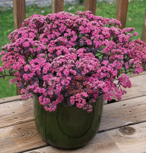Sedum SunSparkler® Series Dazzleberry