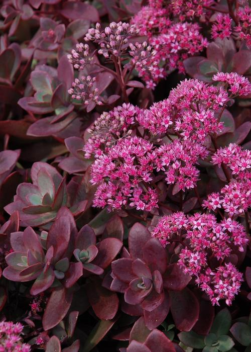 Sedum SunSparkler® Series Firecracker