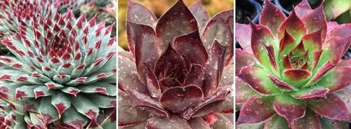 Sempervivum Chick Charms® Collection B
