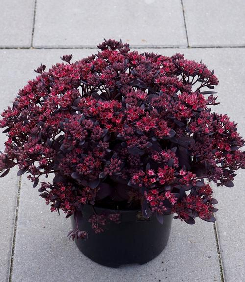 Sedum SunSparkler® Series Plum Dazzled