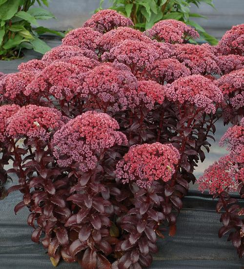 Sedum Dark Magic