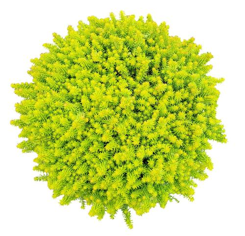 Sedum SunSparkler® Series Angelina's Teacup