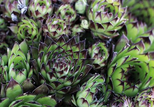 Sempervivum Hens & Chicks Black