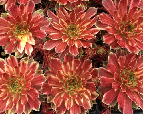 Sempervivum Chick Charms® Citrus Sunrise