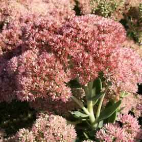 Sedum Autumn Fire