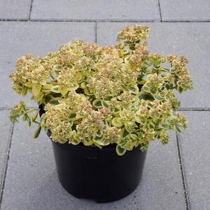 Sedum SunSparkler® Series Lime Twister