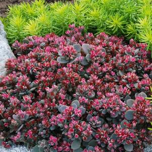 Sedum SunSparkler® Series xSedoro Blue Elf